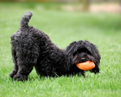 Шнудель Создавая собак - Телеканал «Пёс и Ко»